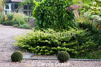 Spreading Taxus baccata 'Corleys Coppertip' with Aralia continentalis and weeping Morus alba 'Pendula' with clipped yew spher...