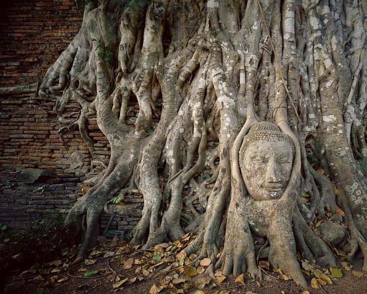 Buddha head in roots
