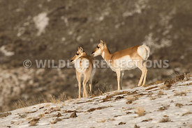 pronghorns_standing_snow_hill