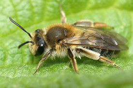Andrena helvola at Durmplassen, Merendree