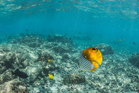 Threadfin Butterflyfish along Coral Reef off Big Island of Hawaii