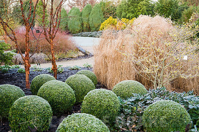 Acer griseum, paperbark  maples, with clipped box balls, Buxus sempervirens, witch hazel and grasses in the Winter Garden. Si...
