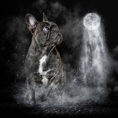 Alain Thimmesch|Photo animalière et Art digital|Chiens