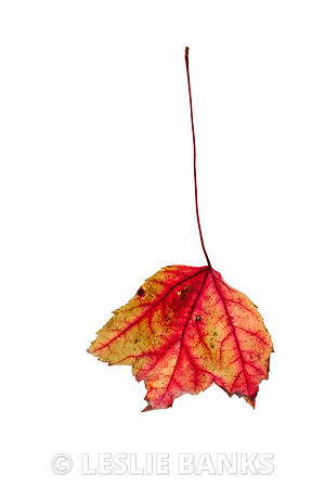 Dried maple leaf with stem standing up