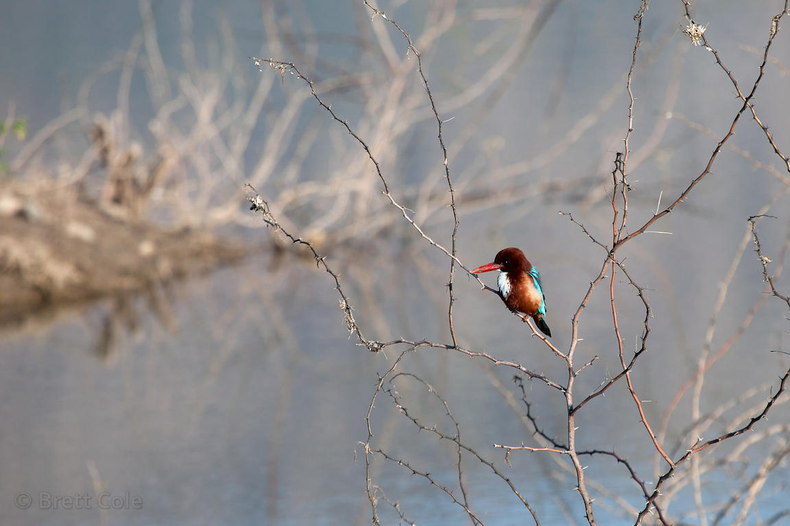 White-throated Kingfisher (Halcyon smyrnensis) at Foy Sagar, near Ajmer, Rajasthan, India