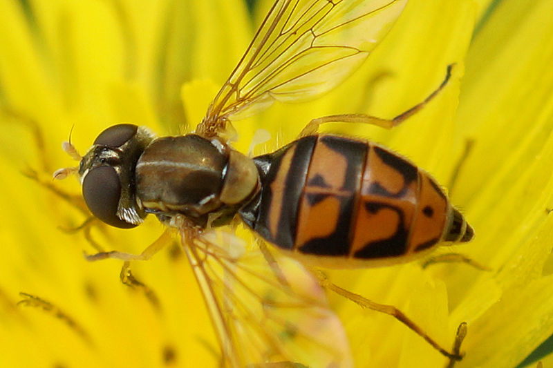 Syrphidae, New York, USA