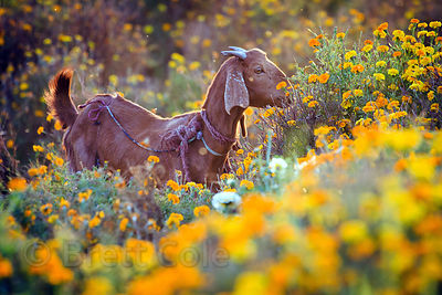 Goat in flower fields, Amba village, Rajasthan, India