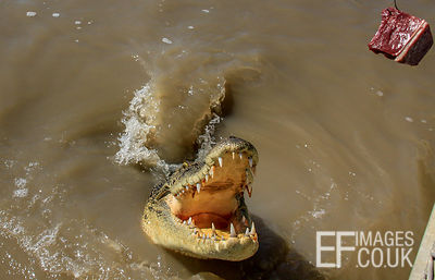 Saltwater Crocodile Going For A chunk Of Meat