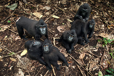 Celebes / Black crested macaque (Macaca nigra)  group sitting on the forest floor, Tangkoko National Park, Sulawesi, Indonesia.