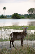 Young Common waterbuck at the Shire river (Kobus ellipsiprymnus ellipsiprymnus), Liwonde National Park, Malawi