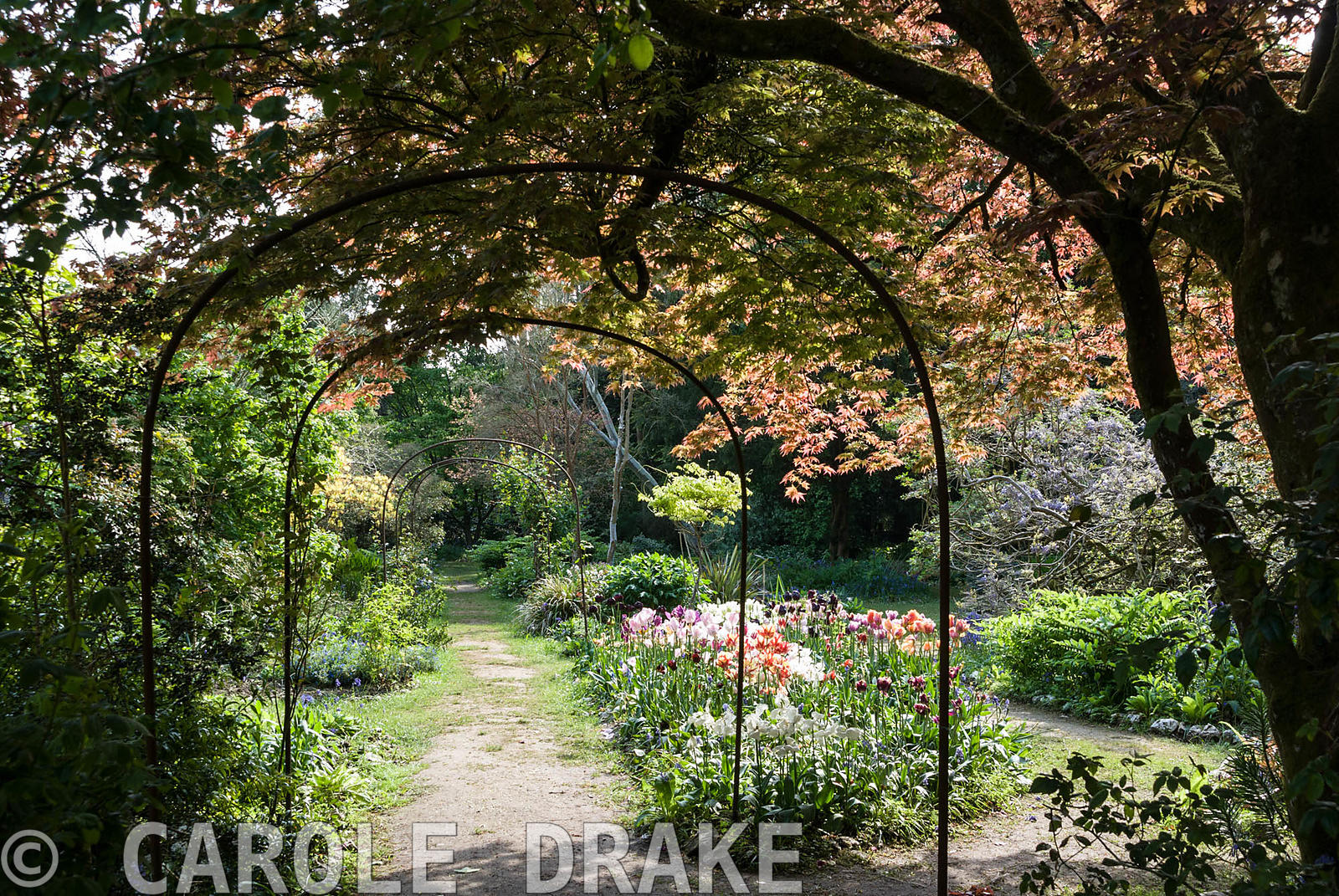 A metal pergola frames the central path through the Flower Garden below a spreading acer and above a mass of tulips. Enys Gar...