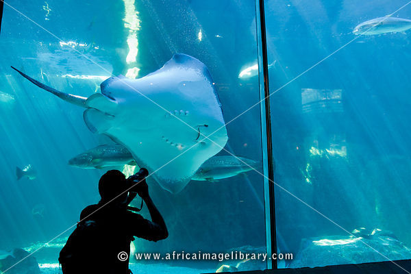 Giant Sting Ray, Predator exhibit, Two Oceans Aquarium, Victoria & Alfred Waterfront, Cape Town, South Africa