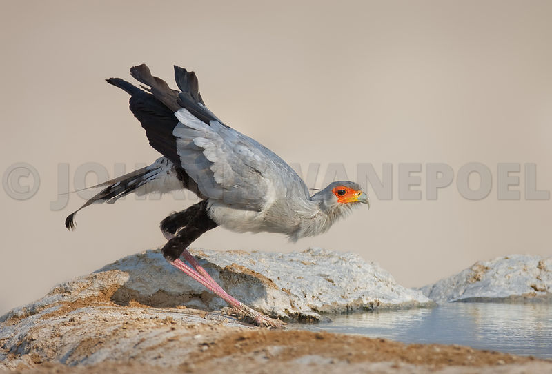 Secretary bird drinking water