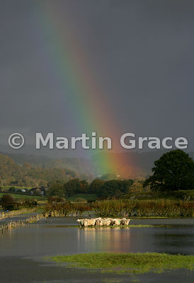 Flock of sheep stranded by rising flood-water after prolonged, torrential rain, Lyth Valley, Cumbria, England