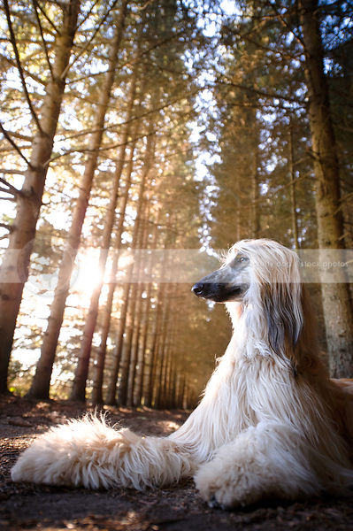 proud longhaired dog lying in pine forest with sunlight and sunflare