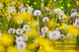 Dandelion blowball meadow (taraxacum officinale)  - Europe, Germany, Bavaria, Upper Franconia, Franconian Switzerland - digital