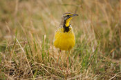 Yellow-throated longclaw (Macronyx croceus), Maasai Mara National Reserve, Kenya