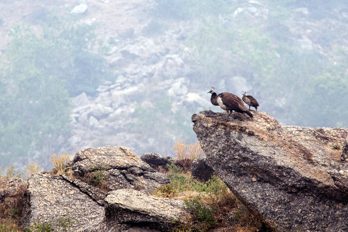 Female peacock and baby in the Aravali mountains near Ajaypal, Rajasthan, India