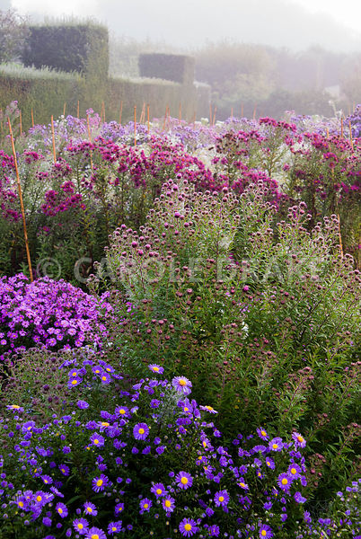 Asters in the stock beds with yew hedging behind. Waterperry Gardens, Wheatley, Oxfordshire, UK