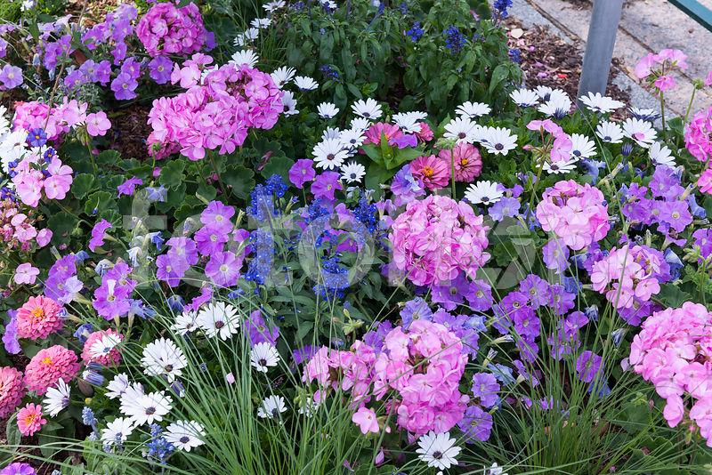 Photo de Massif de fleurs d\'ete coloris pastel, mélange ...