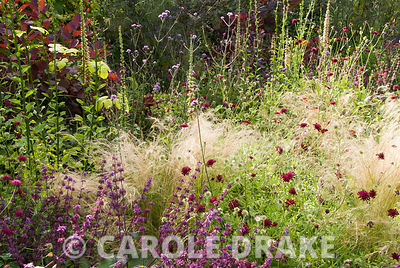 Mixed border including Knautia macedonica, feathery Stipa tenuissima, tawny spikes of Digitalis ferruginea, Salvia verticilla...