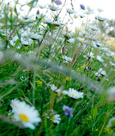 Field of flowers #3