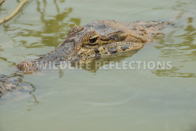 caiman_pond_face-5