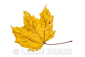 Dried yellow maple leaf isolated on white