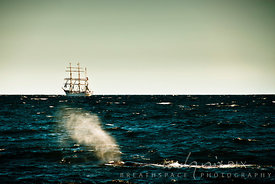 Humpback Whale blowing a spout in False Bay, sailing ship, S.T.S. Sagres, in background
