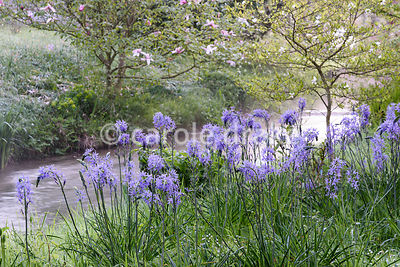 Camassias on the banks of the River Avon at Heale House in Wiltshire on a frosty April morning