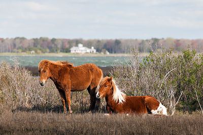 Wild horses (Equus ferus caballus) bracing against gale force winds on the bay (west) side of Assateague Island, Maryland