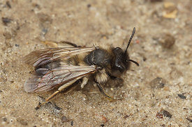 A worn out Andrena nycthemera female  (already !)
