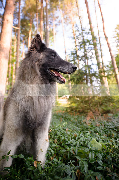 sable and black belgian shepherd dog sitting in summer vegetation