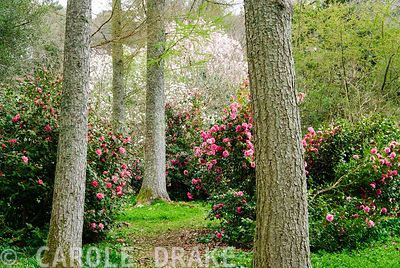 Trunks of Scots pines frame view of camellias and beyond pink Magnolia sprengeri 'Diva' and white Magnolia denudata. Higher K...