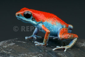 "Oophaga pumilio ""escudo"", Strawberry frog, Panama"