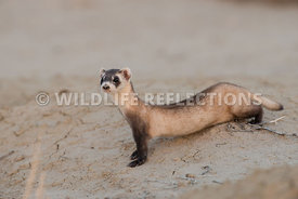 ferret_full_burrow_front-5