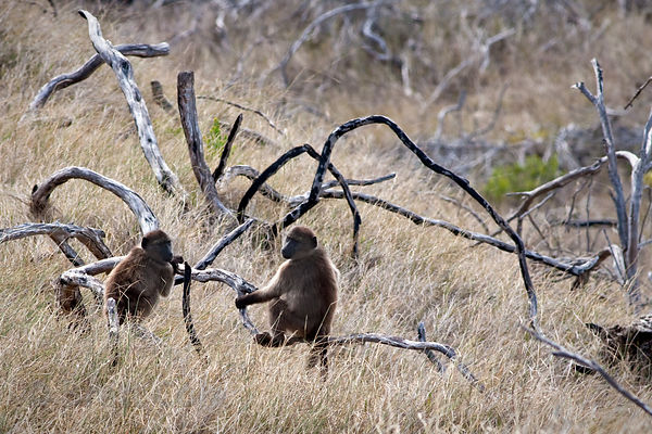 Chacma baboons from the Buffels Bay troop in the sand dunes of Buffels Bay, Cape Peninsula, South Africa
