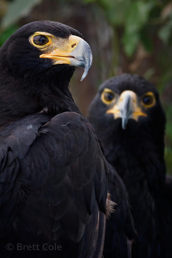 Eagles (sp.), World of Birds, South Africa