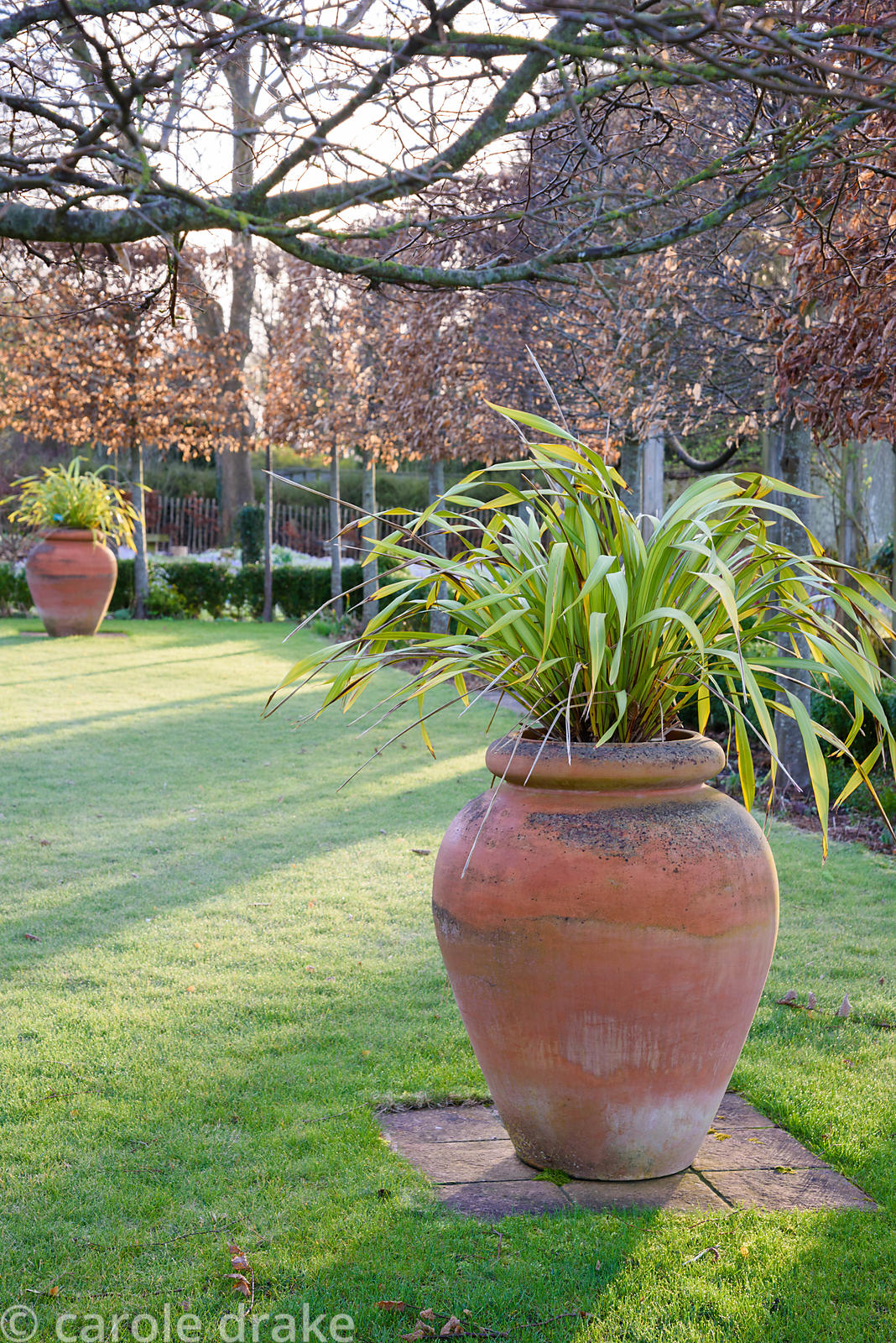 Pleached hornbeams around a lawn with urns containing Phormium tenax 'Yellow Wave' on a winter's morning at The Down House, H...