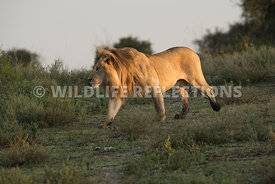 male_lion_walking_side_ndutu_02202015-3-Edit