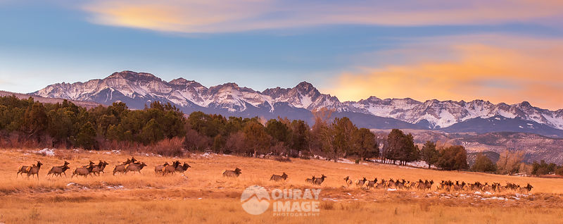 Moving Elk Herd, Mount Sneffels