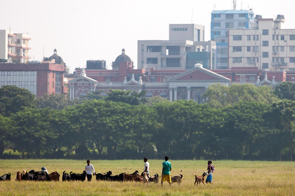 Goats are herded on the Maidan, a large park in central Kolkata, India.