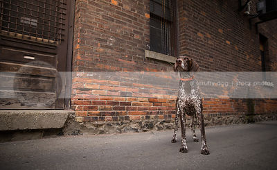 proud brown ticked pointer dog standing at urban brick wall