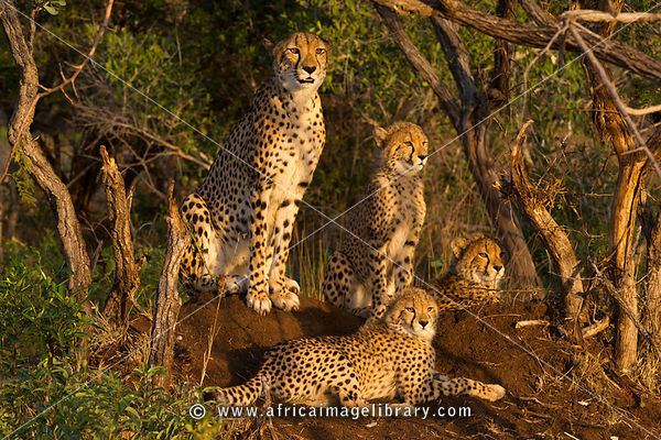 Cheetah with cubs (Acinonyx jubatus), Phinda Game Reserve, South Africa