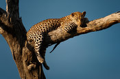 Leopard in a tree (Panthera pardus), Timbavati Game Reserve, Greater Kruger National Park, South Africa