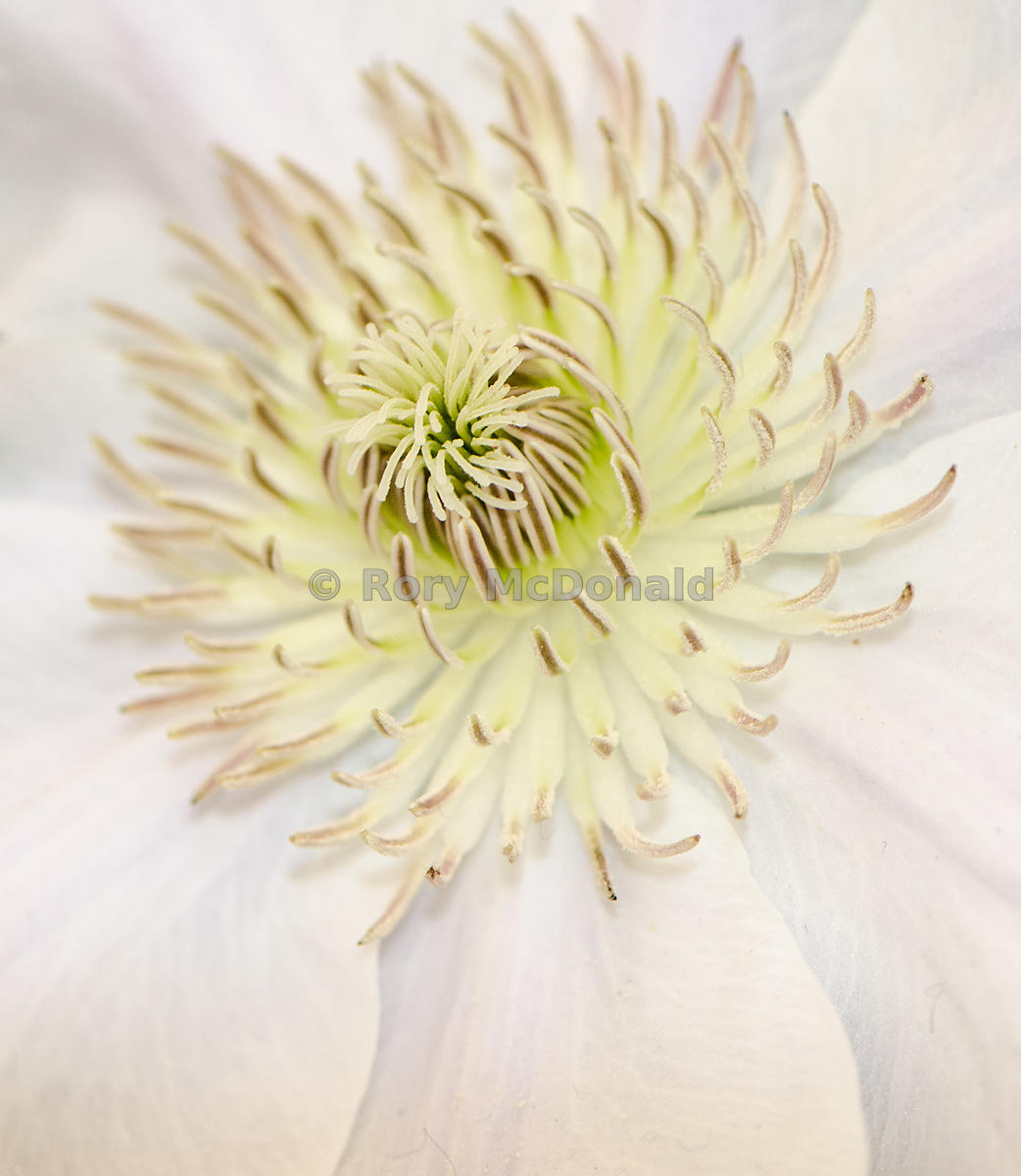 Pale clematis heart