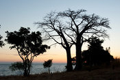 Baobab on the beach on the shore of lake Niassa, Mozambique