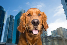 Close-up Portrait of Happy Golden Retriver with Tall Buildings in Background