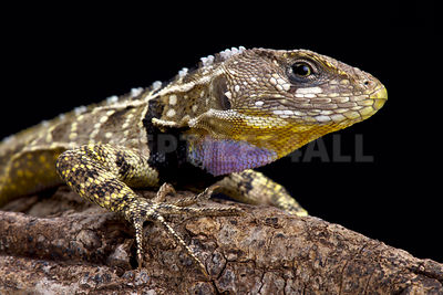 Peruvian purple throated lizard (Stenocercus imitator)