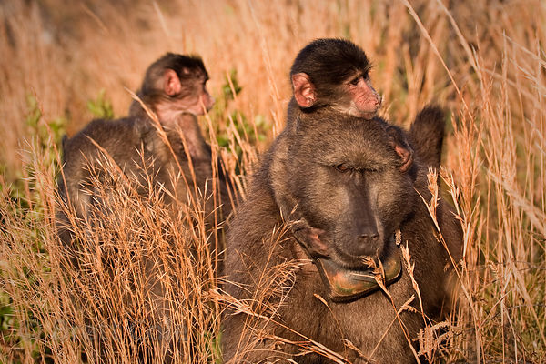 Mother and baby chacma baboons from the Slangkop troop in late light on a mountain above the community of Masiphumelele, Cape...